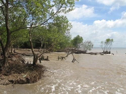Nước biển đã lấn sâu tàn phá rừng phòng hộ