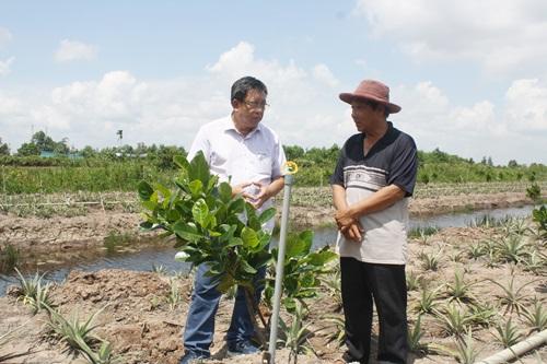 Người dân chuyển đổi trồng mít trên đất canh tác khóm ở huyện Tân Phước, tỉnh Tiền Giang